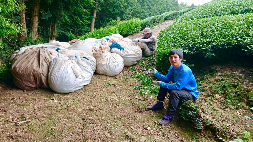 京都和束町・収穫された茶葉(園の脇の茶袋)の写真