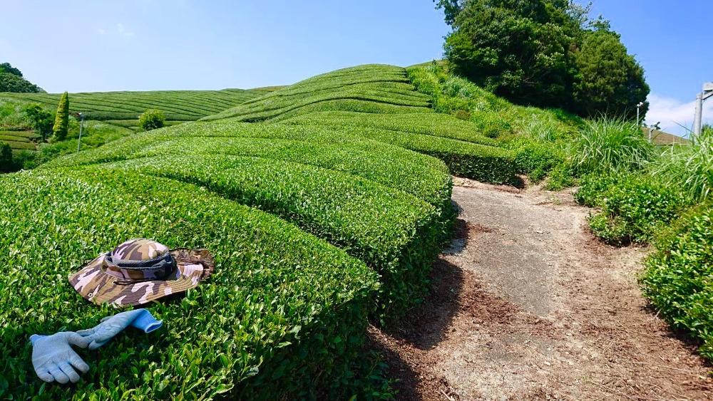 京都和束町・宇治茶収穫アルバイト(お茶畑と帽子)の写真