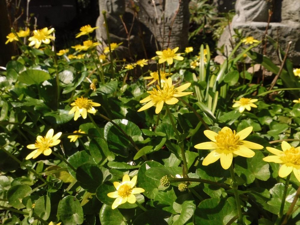 神奈川県大和市常泉寺の黄色いお花の写真