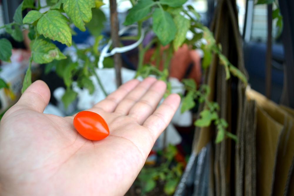 軽自動車日本一周で積んでた野菜(トマト)の写真