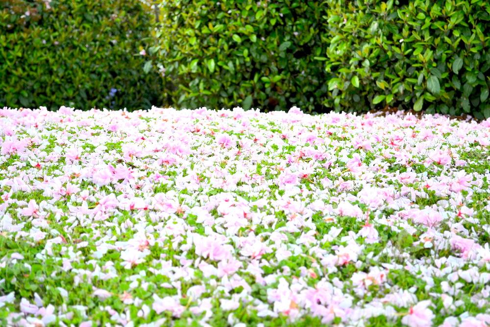 カナダ・ビクトリアのお花(桜の花びら)の写真