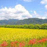 神奈川 南足柄市の酔芙蓉祭り(彼岸花と田んぼ)の写真