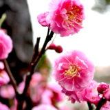 実家の梅の花と雨の雫の写真