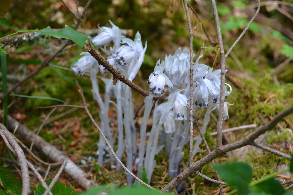ダグラス山の変わった花の写真