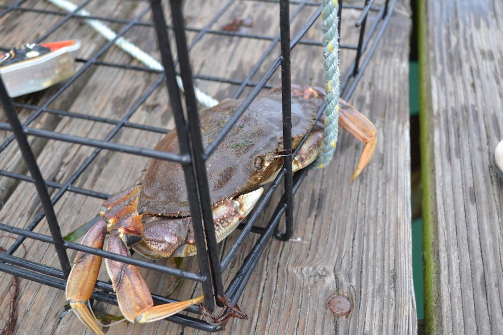 カナダ・バンクーバーアイランドの町シドニーの蟹の写真