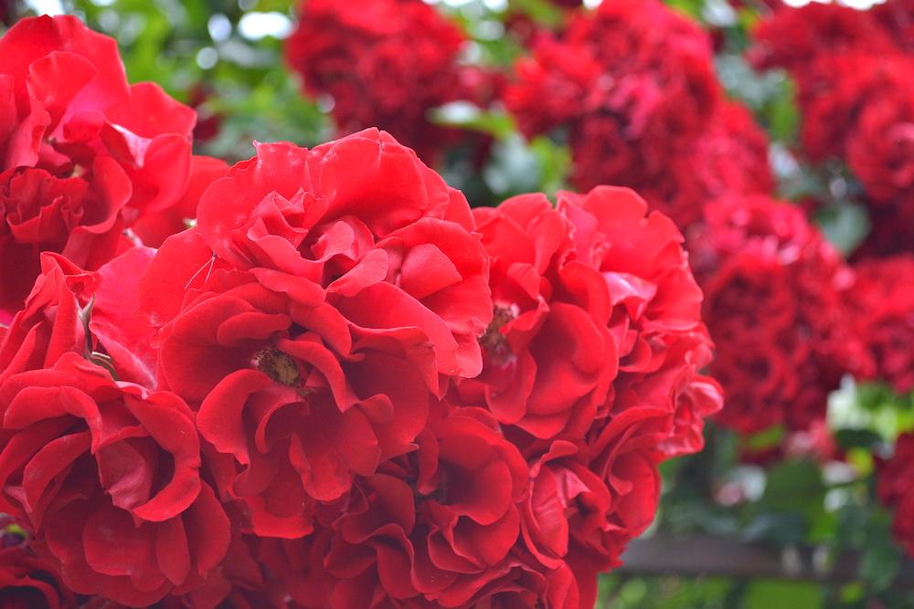 カナダ・ビクトリアのお花(真っ赤なバラ)の写真