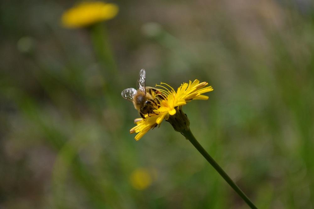 がんばるミツバチの写真