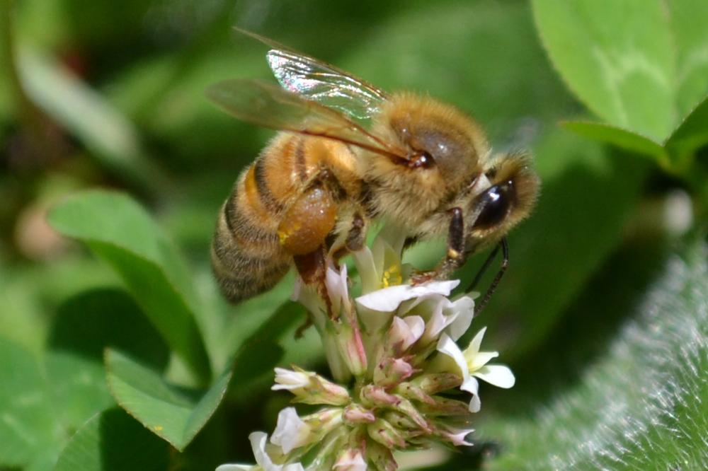 ミツバチと花粉の写真
