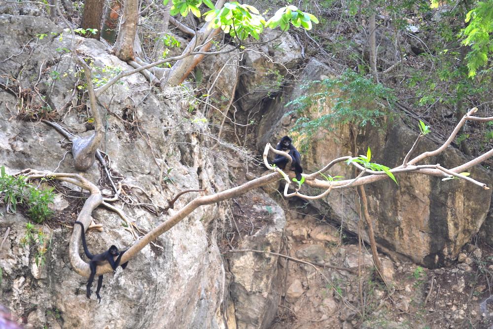 メキシコ・スミデロ渓谷ボートツアー野生の猿の写真