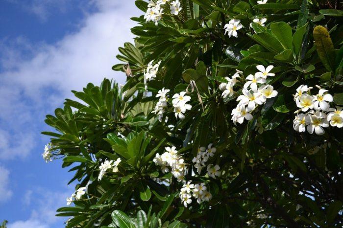 マウイ島のプルメリアの写真