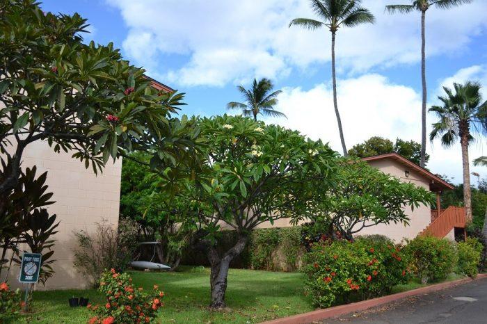 マウイ島のプルメリアの木の写真