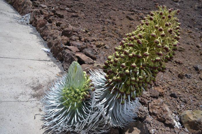 ハレアカラ山頂の植物の写真
