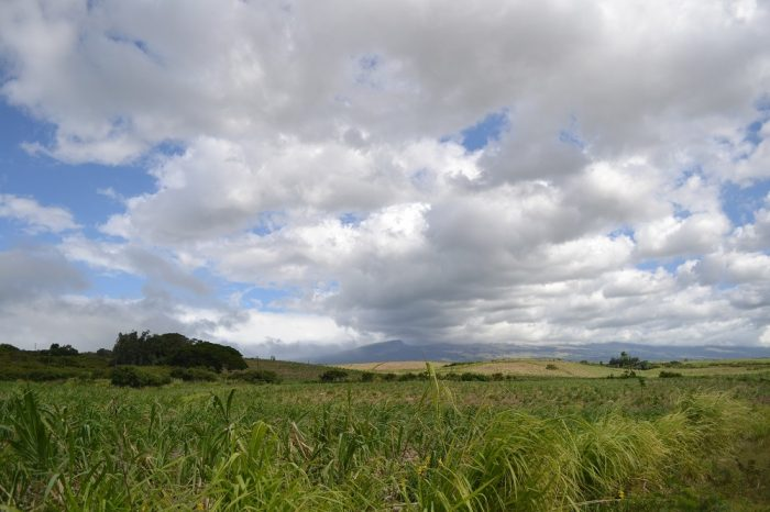 マウイ島のサトウキビ畑の写真