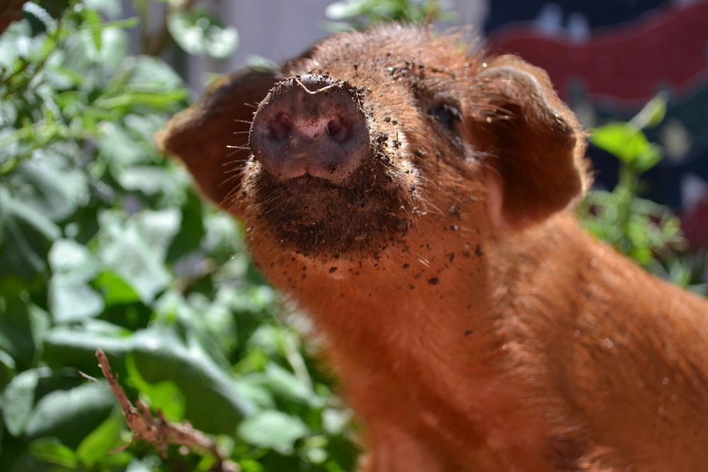 ペッパ(飼いブタ)の顔(上見てます)の写真