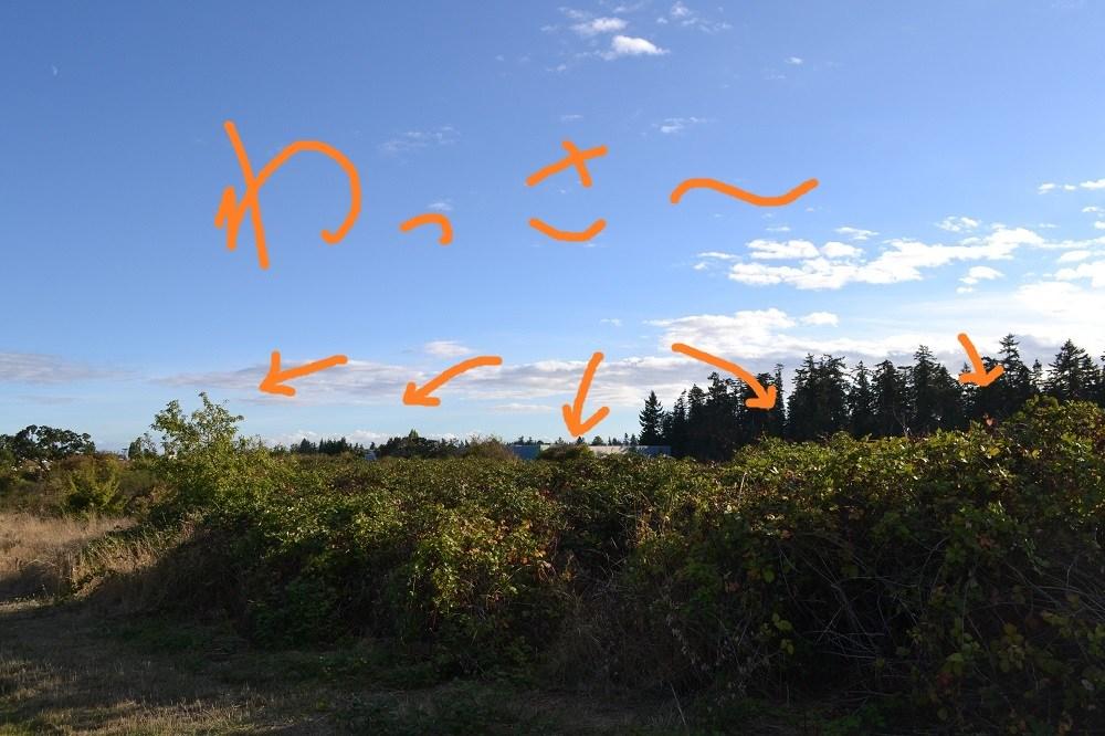 ビクトリアの自然のブラックベリーが群生してる写真