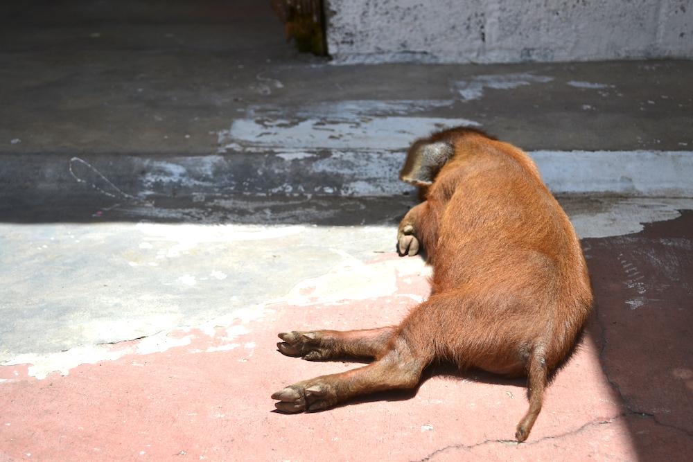 日向で寝るペッパ(飼いブタ)の写真