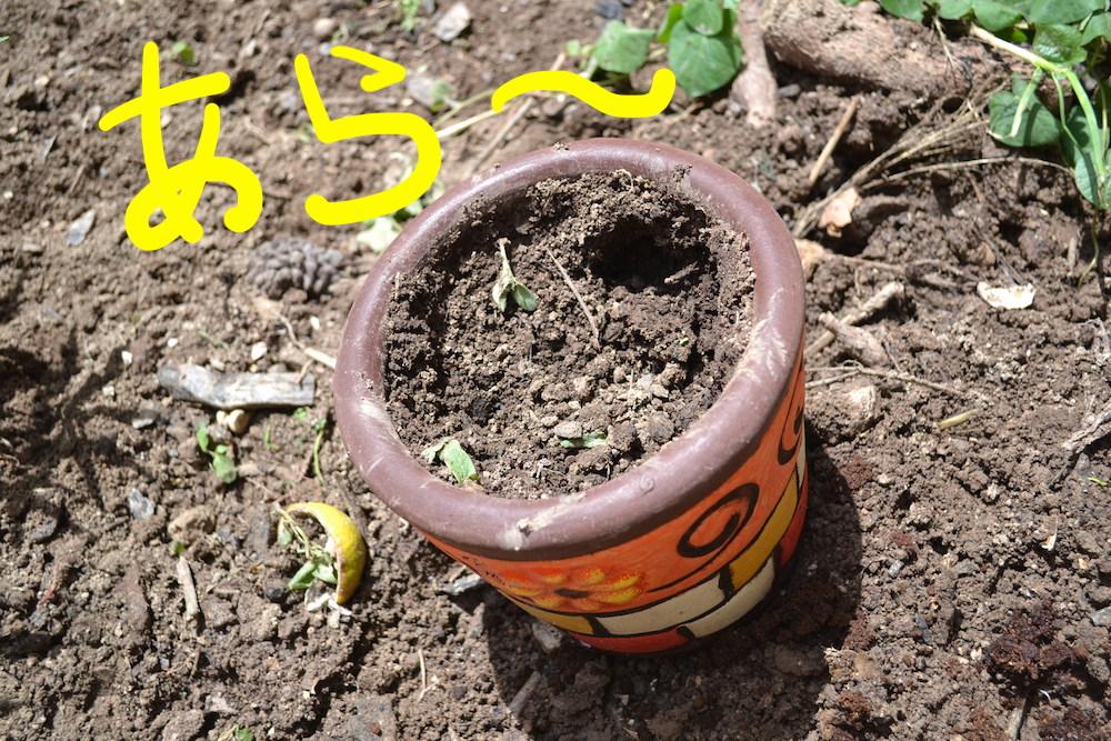 植木鉢を荒らすペッパ(飼いブタ)の写真