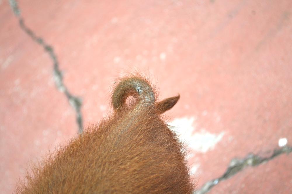 ペッパ(飼いブタ)のクルクルしっぽの写真