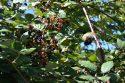 カナダのビクトリアは無料でブラックベリー食べ放題。自然を目と口で楽しめます。