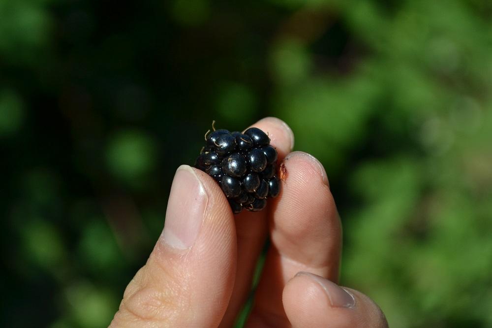 ビクトリアのブラックベリーの写真