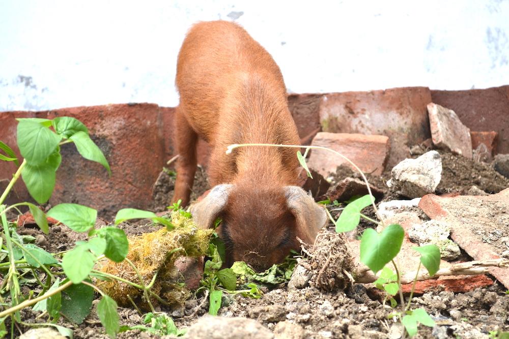 土を鼻掘りするペッパ(飼いブタ)の写真