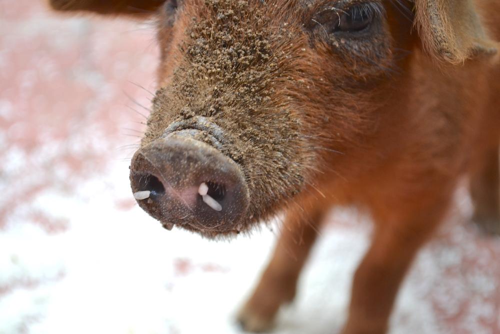 飼いブタのお食事・鼻の穴にご飯の写真