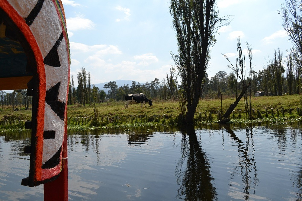 ソチミルコの運河田舎の風景牛の写真