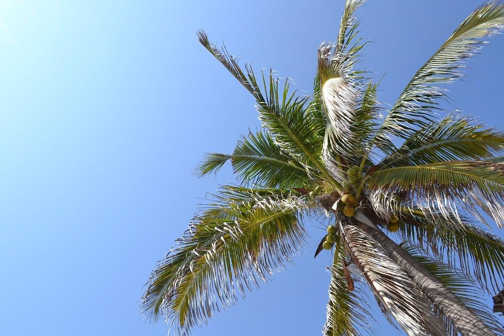 メキシコ・シポリテのヤシの木の写真