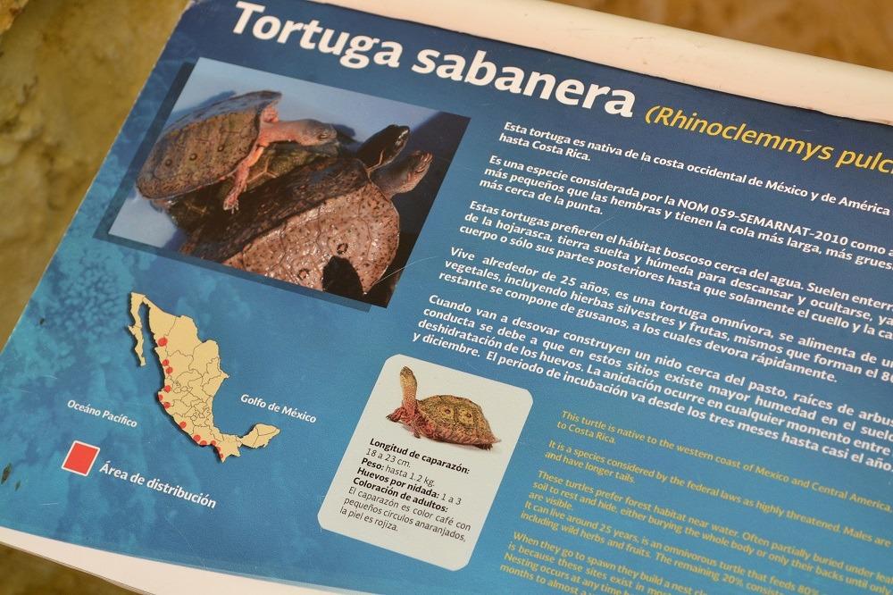 マスンテのウミガメ水族館のカメの説明書きの写真