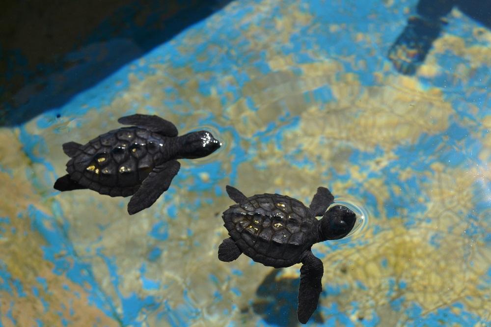 マスンテのウミガメ水族館の子海亀の写真