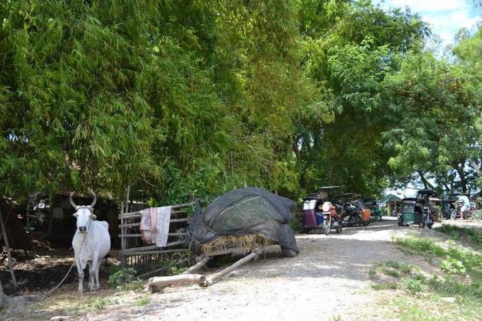 村にいた牛の写真