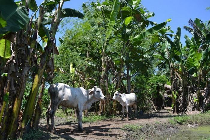 バナナ畑にいた牛の写真
