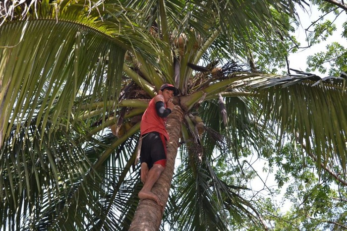 ココナッツを収穫する人の写真