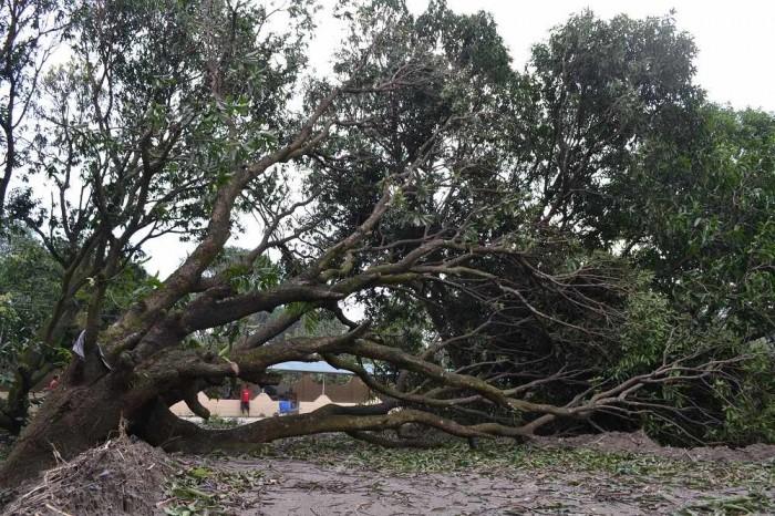 倒れた巨木の写真