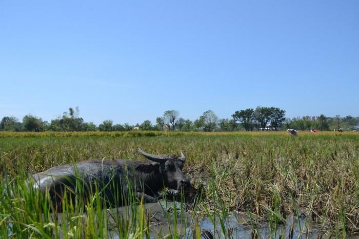田んぼで見かけた牛の写真