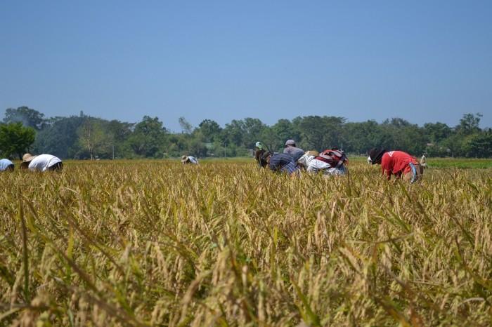 稲刈りの様子の写真
