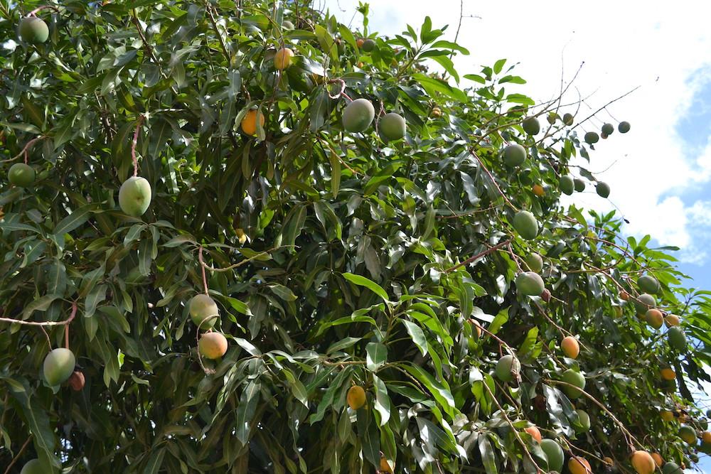 キューバ・トリニダーのマンゴーの木の写真