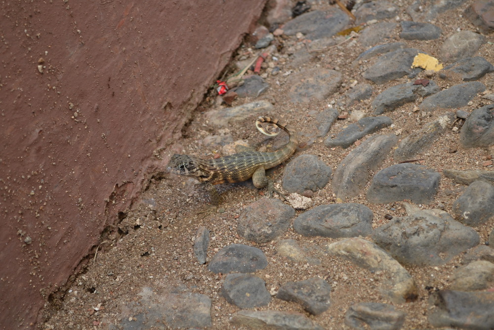 キューバ・トリニダーにいたトカゲの写真
