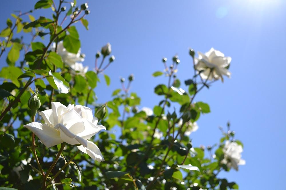 平塚市花菜ガーデンのバラ(白)と空の写真