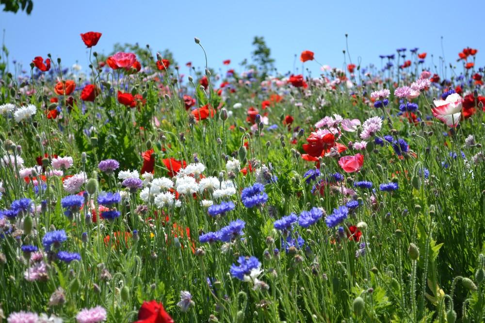 神奈川県平塚市の植物園・花菜ガーデンのお花畑の写真