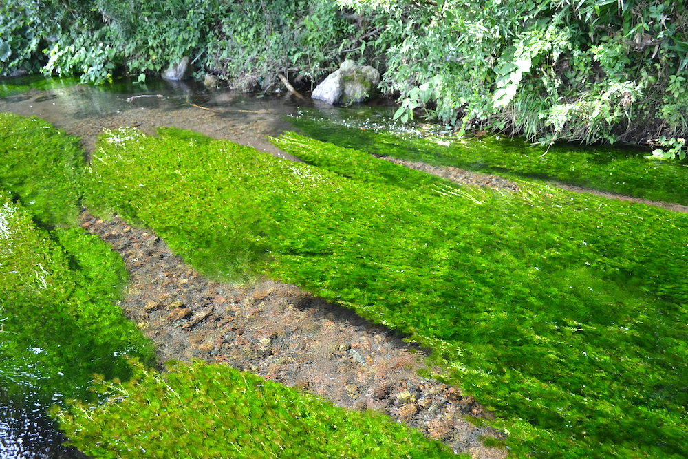 山形県庄内|観光スポット丸池様周辺の牛渡川(梅花藻)の写真