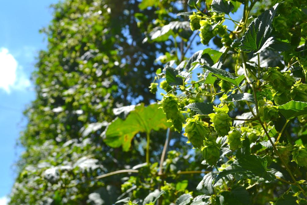 東北|サッポロビールのホップ農場(ホップ)の写真