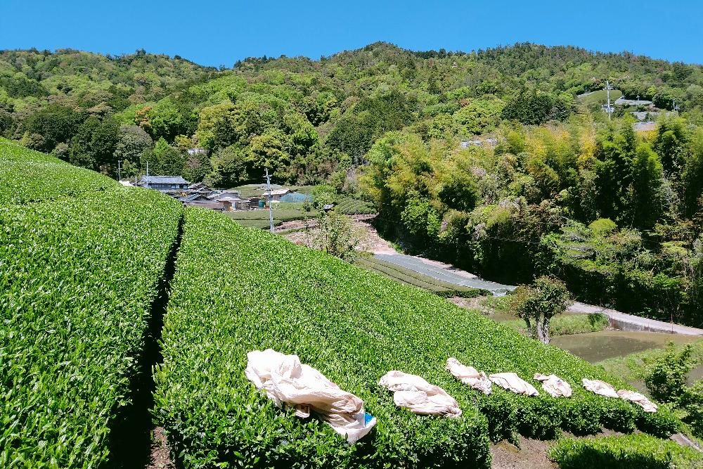 京都和束町・宇治茶収穫アルバイト(お茶畑と茶袋(空))の写真