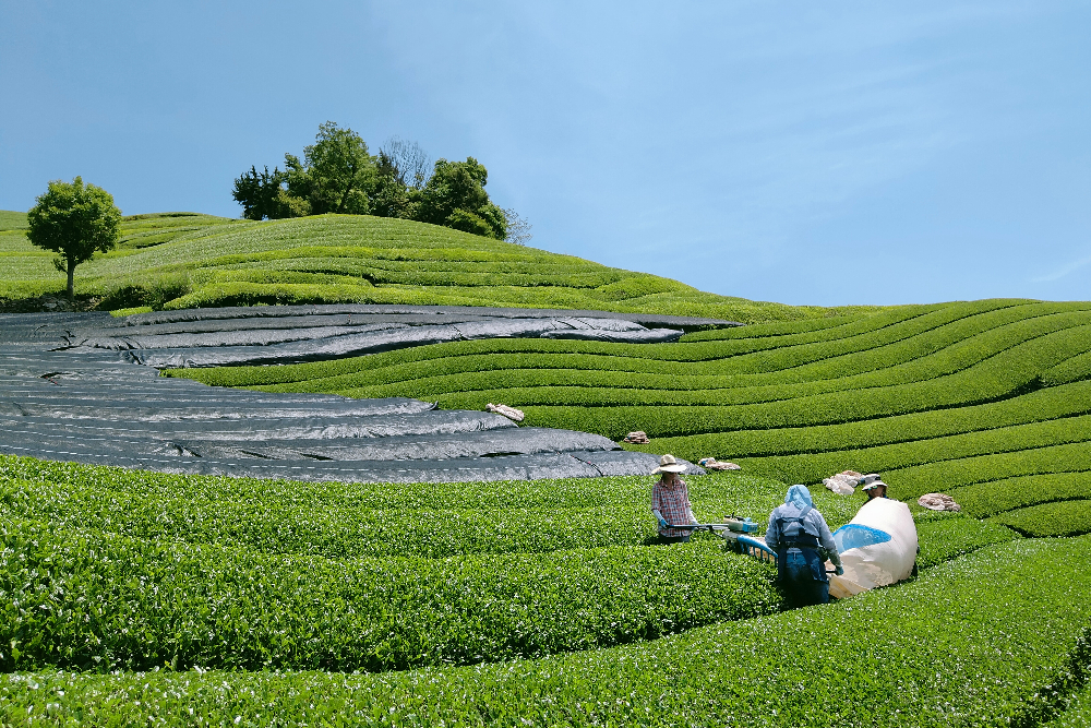 茶刈の風景(京都和束町・宇治茶収穫アルバイト)の写真