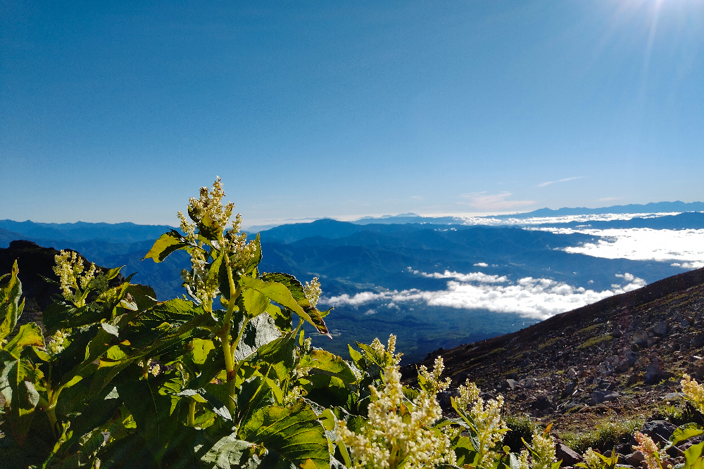 御嶽山の山小屋・ニノ池山荘からの景色(高山植物オンタデと青空)の写真