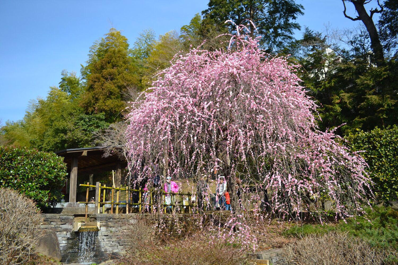 静岡熱海梅園の枝垂れ梅の写真