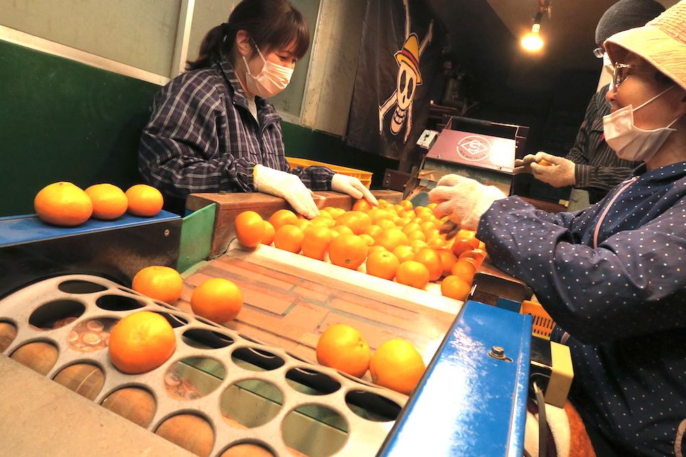 季節労働愛媛県でみかんアルバイト(選果の様子)の写真