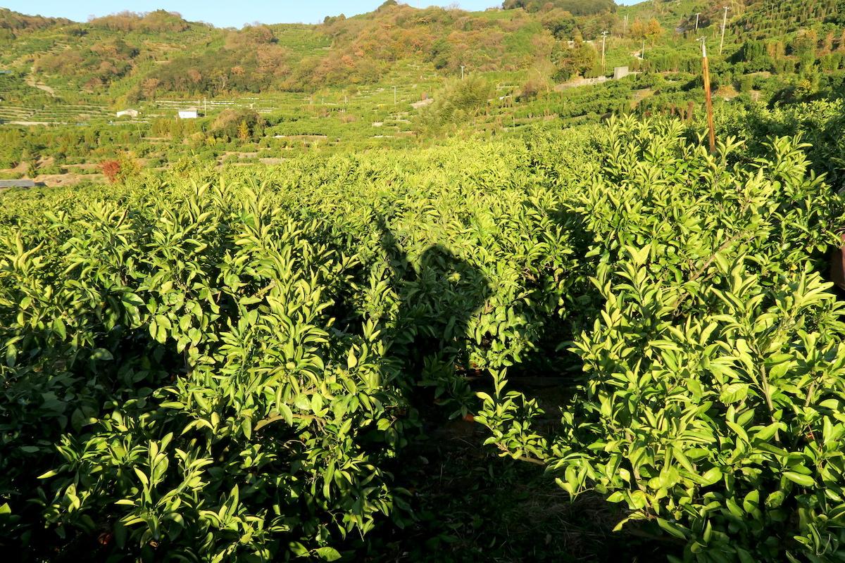 季節労働愛媛県でみかんアルバイト(最終日・みかんゼロの畑☆)の写真
