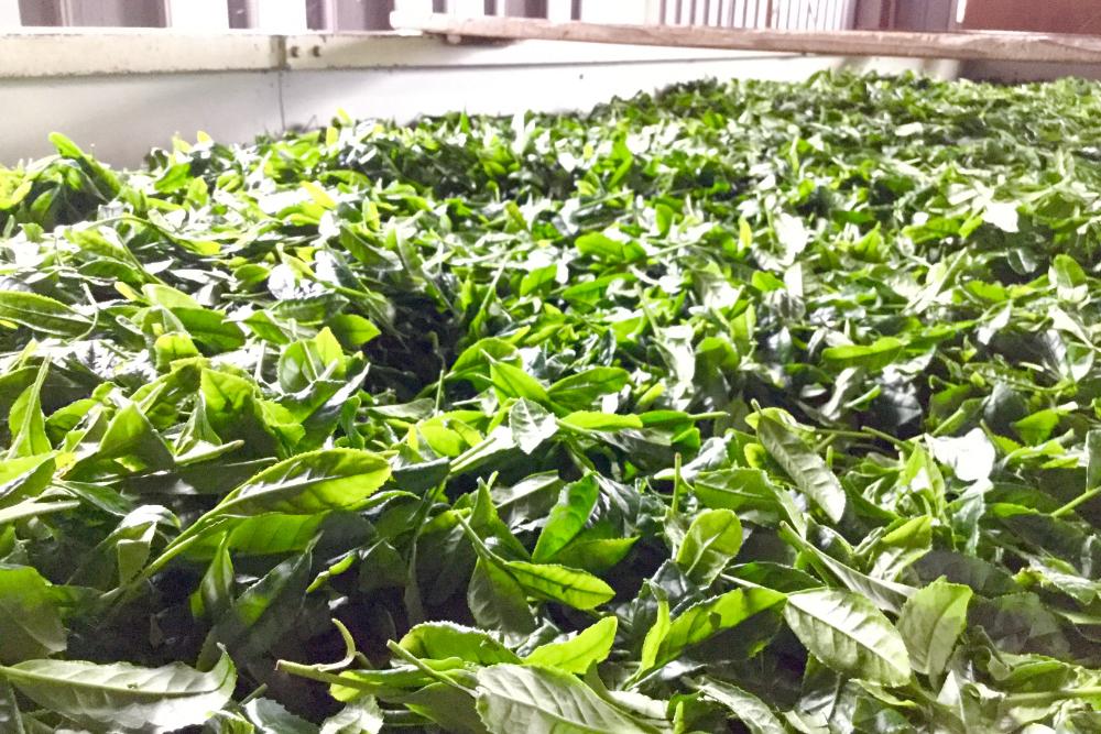 京都和束町・収穫された茶葉(工場のコンテナ)の写真