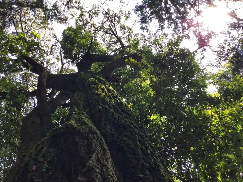 京都府和束天満宮の木の写真